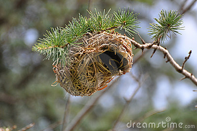 Nest of a Weaver Bird. South Africa.