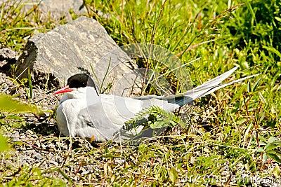 Nesting Arctic Tern