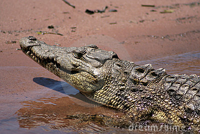 Nesting Nile Crocodile