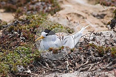 Nesting Roseate Tern