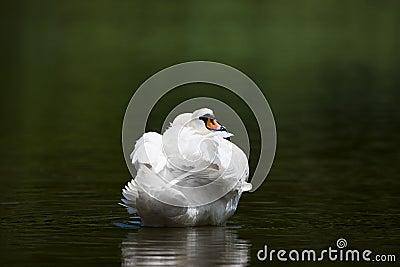 Nestled Swan