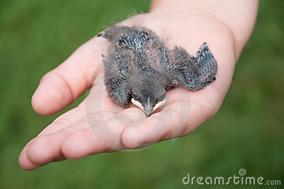Nestling barn swallows in the hands