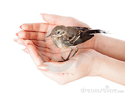 Nestling of bird (wagtail) on hand