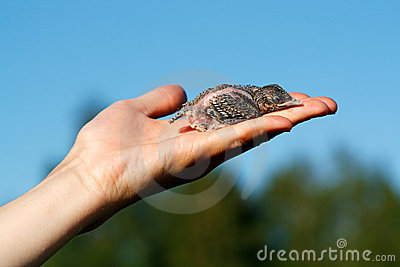 Nestling on the hand
