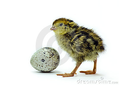 Nestling quail and egg