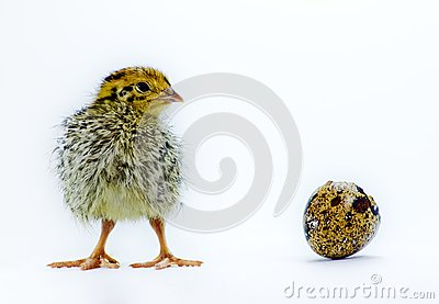 Nestling quail with eggshell