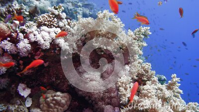 Net Fire Coral Millepora dichotoma , Glare of sunlight on colorful corals near the water surface. Red Sea Egypt stock video footage