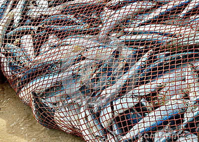 Net Is Full Of Fish. Nice Catch! Royalty Free Stock Photo - Image ...