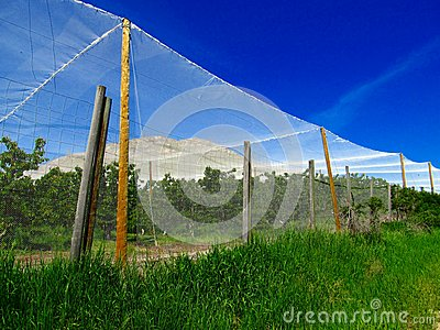 Nets over cherry orchard