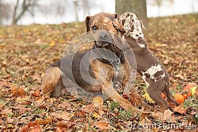 Hund Louisianas Catahoula erschrocken vom Parenting