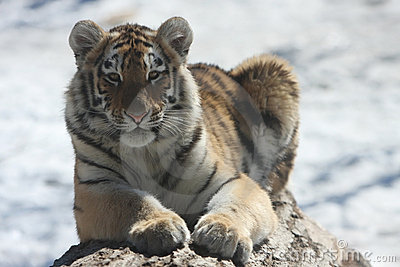 Netter Cub