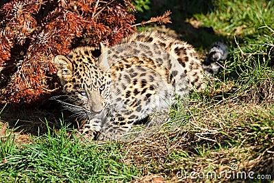 Netter Schätzchenamur-Leopard Cub, der durch Bush sich duckt