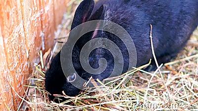 Nettes schwarzes Kaninchen stock footage