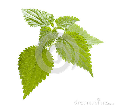 Free Nettle Stock Images - 26347344
