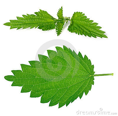 Nettle leaf and branch