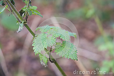 Nettle plant growing wild in woodland Stock Photo