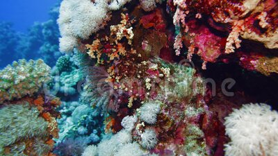Netto Fire Coral Millepora dichotoma , Verschijning van zonlicht op kleurrijke koralen nabij het wateroppervlak Rode Zee Egypte stock footage