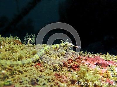 Network Pipefish -