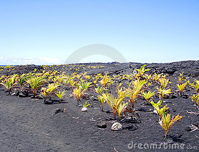 Neue Kokosnusswaldung, große Insel, Hawaii