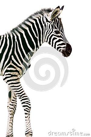 Neugeborener Schätzchen Zebra