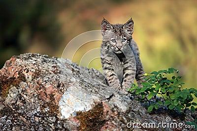 Neugieriges Rotluchs-Kätzchen