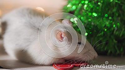 Neujahrskonzept Cute-weiße Hausratte in einem Neujahrsdekor Symbol des Jahres 2020 ist eine Ratte in China stock video