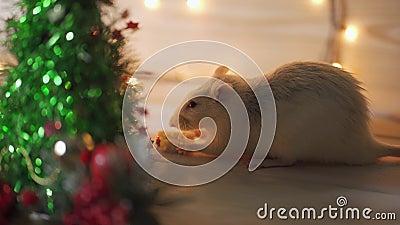 Neujahrskonzept Rutsch weiße Hausratte im Neujahrsdekor Symbol des Jahres 2020 ist eine Ratte in China stock footage