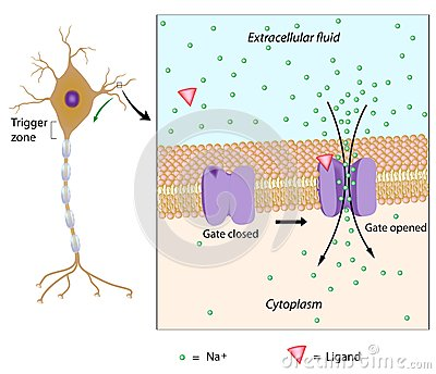 Neuron and local potential