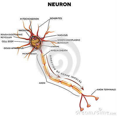 Neuron nerve cell anatomy cartoon vector cartoondealer 92459813 neuron nerve cell anatomy cartoon vector ccuart Image collections