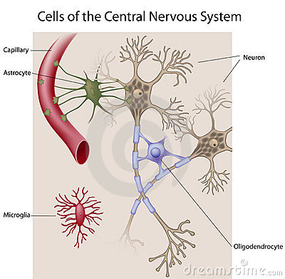 Neurons and glial cells of the CNS