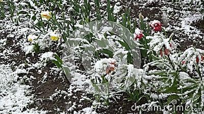Neve da mola que cai em maio em flores de florescência video estoque