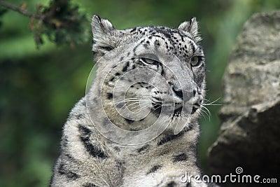Neve del leopardo