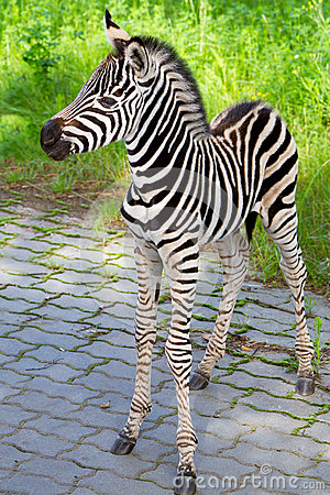 New born baby zebra