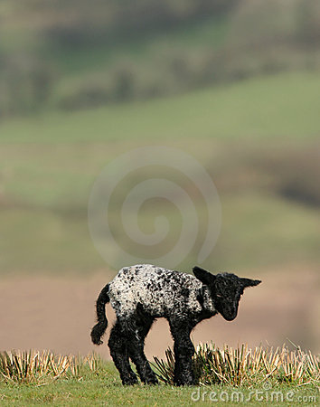 New Born Black Lamb