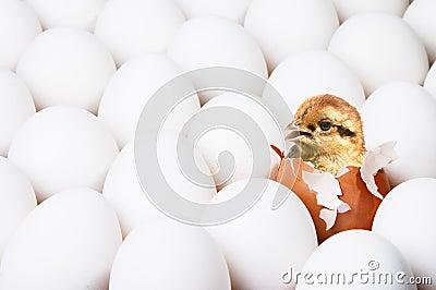 New-born chick