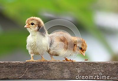 New born chicks