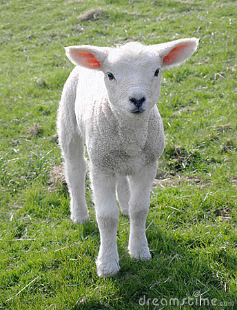 Free New Born Lamb Royalty Free Stock Photos - 13359378