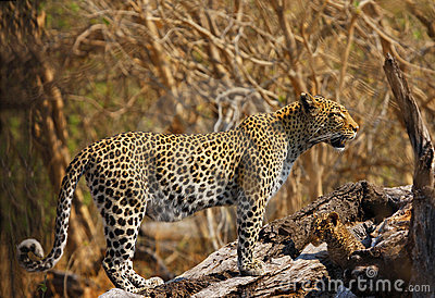 New born leopard cub