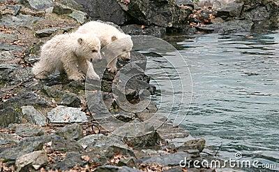 New born polar bears