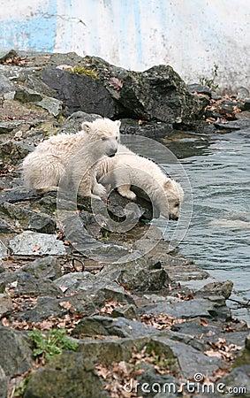 Free New Born Polar Bears Royalty Free Stock Photos - 4572228