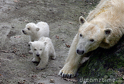 New born polar bears Editorial Photo