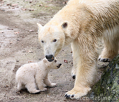 New born polar bears Editorial Photography