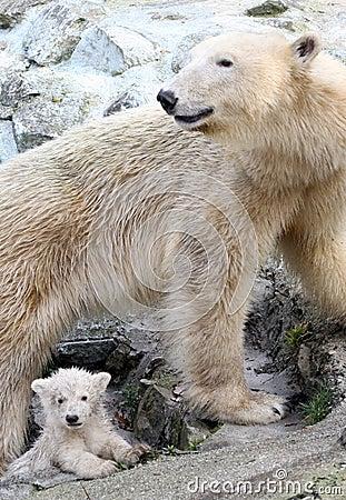Free New Born Polar Bears Royalty Free Stock Image - 4584116