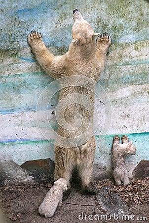 New born polar bears Editorial Photography