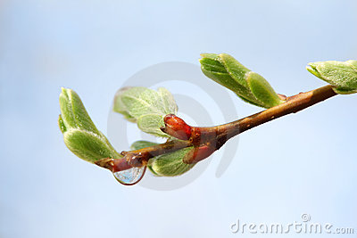 New buds and transparent drop on branch of tree