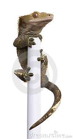 New Caledonian Crested Gecko climbing white pole