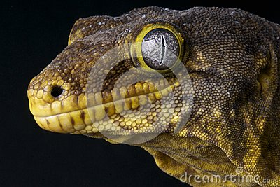 New Caledonian Giant Gecko