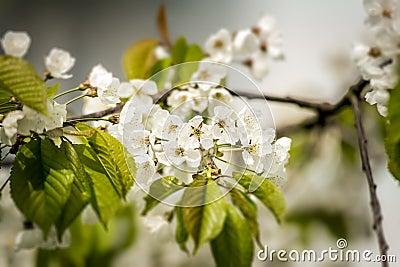 New Cherry life