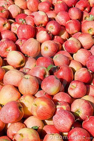 New crop of red Gala apples