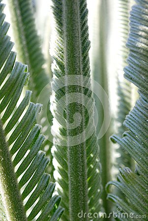 New cycad leaves unfurling
